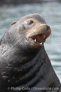 Sea lion head profile, showing small external ear, prominant forehead typical of adult males, whiskers.  This sea lion is hauled out on public docks in Astoria&#39;s East Mooring Basin.  This bachelor colony of adult males takes up residence for several weeks in late summer on public docks in Astoria after having fed upon migrating salmon in the Columbia River.  The sea lions can damage or even sink docks and some critics feel that they cost the city money in the form of lost dock fees, Zalophus californianus