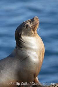 California sea lion hauled out on rocks beside the ocean, Zalophus californianus, La Jolla