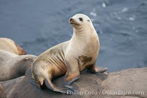 California sea lion hauled out on rocks beside the ocean, Zalophus californianus, La Jolla