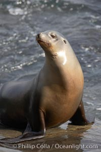 Sea lion portrait, hauled out on rocks beside the ocean, Zalophus californianus, La Jolla, California