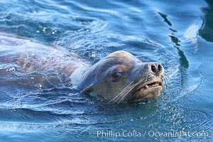 California sea lion, adult male, breathing at surface, Zalophus californianus, San Diego