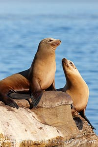 California sea lions, hauled out on rocks beside the ocean, resting in the sun, Zalophus californianus, La Jolla