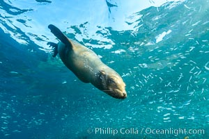 California sea lion and school of sardines underwater, Sea of Cortez, Baja California. Sea of Cortez, Baja California, Mexico, Zalophus californianus, natural history stock photograph, photo id 31227