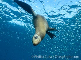 California sea lion and school of sardines underwater, Sea of Cortez, Baja California, Zalophus californianus