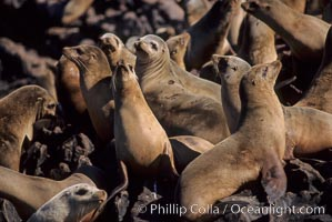 California sea lions, hauled out at rookery/colony, Baja California., Zalophus californianus, natural history stock photograph, photo id 05042