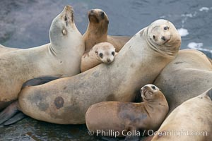 California sea lions hauled out on rocks beside the ocean, Zalophus californianus, La Jolla
