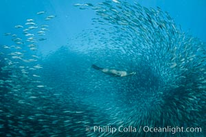 California Sea Lion Hunts in a School of Scad Fish, Sea of Cortez
