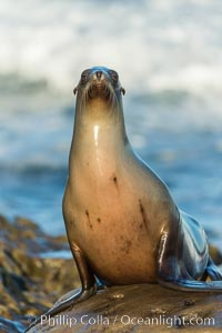 California sea lion, La Jolla, Zalophus californianus