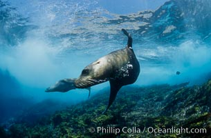 California sea lion, Coronados Islands. Coronado Islands (Islas Coronado), Coronado Islands, Baja California, Mexico, Zalophus californianus, natural history stock photograph, photo id 00956