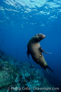 California sea lion, Coronado Islands, Zalophus californianus, Coronado Islands (Islas Coronado)