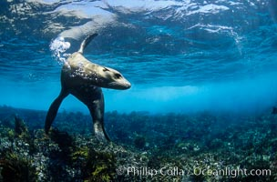 California sea lion. Coronado Islands (Islas Coronado), Coronado Islands, Baja California, Mexico, Zalophus californianus, natural history stock photograph, photo id 02943