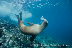 California sea lion, Los Coronado Islands, Zalophus californianus, Coronado Islands (Islas Coronado)
