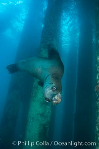 California sea lion at oil rig Eureka, underwater, among the pilings supporting the oil rig. Long Beach, California, USA, Zalophus californianus, natural history stock photograph, photo id 31086