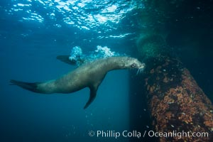California sea lion at oil rig Eureka, underwater, among the pilings supporting the oil rig, Zalophus californianus, Long Beach