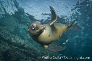 California sea lion underwater. Sea of Cortez, Baja California, Mexico, Zalophus californianus, natural history stock photograph, photo id 27418