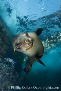California sea lion underwater. Sea of Cortez, Baja California, Mexico, Zalophus californianus, natural history stock photograph, photo id 27420