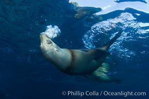 California sea lion injured by fishing line. Sea of Cortez, Baja California, Mexico, Zalophus californianus, natural history stock photograph, photo id 27425