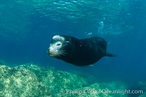 California sea lion, adult male bull, underwater, Zalophus californianus, Sea of Cortez
