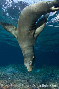 California sea lion underwater. Sea of Cortez, Baja California, Mexico, Zalophus californianus, natural history stock photograph, photo id 27452