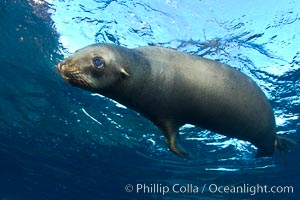 California sea lion underwater. Sea of Cortez, Baja California, Mexico, Zalophus californianus, natural history stock photograph, photo id 27453