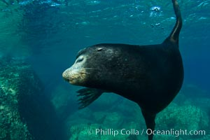 California sea lion underwater. Sea of Cortez, Baja California, Mexico, Zalophus californianus, natural history stock photograph, photo id 27456
