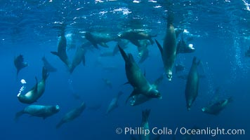 Large group of bachelor adult male California sea lions, underwater view, at Isla Las Animas near La Paz, Sea of Cortez, Baja California, Zalophus californianus