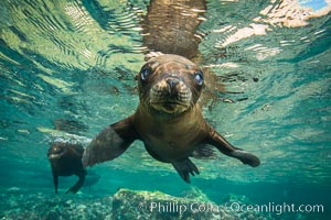California sea lion underwater, Sea of Cortez, Mexico. Sea of Cortez, Baja California, Mexico, Zalophus californianus, natural history stock photograph, photo id 31204