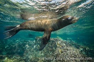 California sea lion underwater, Sea of Cortez, Mexico. Sea of Cortez, Baja California, Mexico, Zalophus californianus, natural history stock photograph, photo id 31232