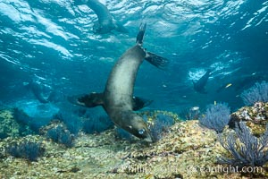 California sea lion underwater, Sea of Cortez, Mexico, Zalophus californianus