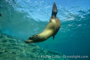 California sea lion, Sea of Cortez, Zalophus californianus, copyright Phillip Colla Natural History Photography, www.oceanlight.com, image #00620, all rights reserved worldwide.