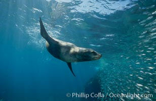 California sea lion and baitfish, Los Islotes, Sea of Cortez, Zalophus californianus