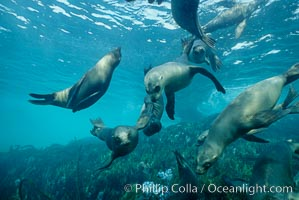 California sea lions swim and socialize over a kelp-covered rocky reef, underwater at San Clemente Island in California's southern Channel Islands, Zalophus californianus
