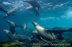 California sea lion photos, underwater photographs of sea lions, natural history pictures and images of California sea lions.