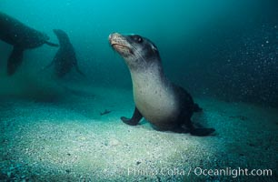 California sea lion, Zalophus californianus, Laguna Beach