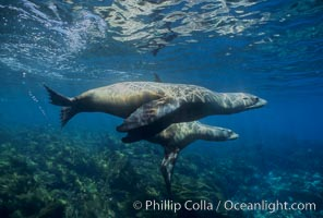 California sea lions, Zalophus californianus, Santa Barbara Island