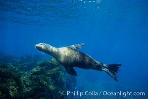 California sea lions. Santa Barbara Island, California, USA, Zalophus californianus, natural history stock photograph, photo id 03098