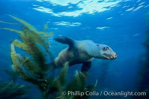 California sea lion. Santa Barbara Island, California, USA, Zalophus californianus, natural history stock photograph, photo id 04827