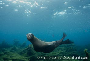 California sea lion, Zalophus californianus, Santa Barbara Island