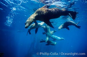 California sea lions, socializing/resting, Webster Point rookery, Santa Barbara Island, Channel Islands National Marine Sanctuary, Zalophus californianus