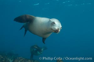 California sea lion, underwater at Santa Barbara Island.  Santa Barbara Island, 38 miles off the coast of southern California, is part of the Channel Islands National Marine Sanctuary and Channel Islands National Park.  It is home to a large population of sea lions, Zalophus californianus