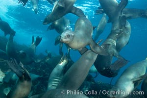 California sea lions, underwater at Santa Barbara Island.  Santa Barbara Island, 38 miles off the coast of southern California, is part of the Channel Islands National Marine Sanctuary and Channel Islands National Park.  It is home to a large population of sea lions. Santa Barbara Island, California, USA, Zalophus californianus, natural history stock photograph, photo id 23442