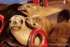 California sea lions hauled out on buoy, Zalophus californianus, San Diego