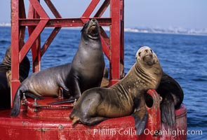 California sea lions hauled out on navigation buoy, Zalophus californianus, San Diego