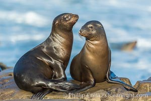 California sea lions, La Jolla. La Jolla, California, USA, Zalophus californianus, natural history stock photograph, photo id 34273