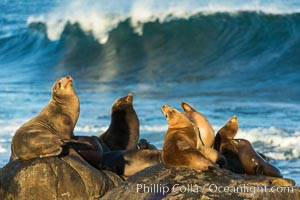 California sea lions, La Jolla. La Jolla, California, USA, Zalophus californianus, natural history stock photograph, photo id 34275