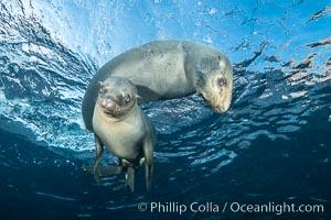 California sea lions underwater, Coronados Islands, Baja California, Mexico. Coronado Islands (Islas Coronado), Coronado Islands, Baja California, Mexico, Zalophus californianus, natural history stock photograph, photo id 34575