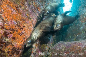 California sea lions underwater, Sea of Cortez, Mexico, Zalophus californianus