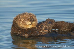 A sea otter, resting on its back, holding its paw out of the water for warmth.  While the sea otter has extremely dense fur on its body, the fur is less dense on its head, arms and paws so it will hold these out of the cold water to conserve body heat, Enhydra lutris, Elkhorn Slough National Estuarine Research Reserve, Moss Landing, California