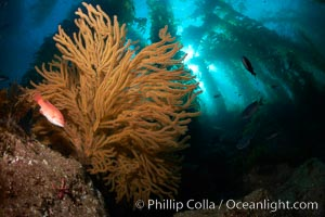 California sheephead and golden gorgonian, giant kelp forest filters sunlight in the background, underwater, Semicossyphus pulcher, Muricea californica, Catalina Island