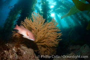 California sheephead and golden gorgonian, giant kelp forest filters sunlight in the background, underwater. Catalina Island, California, USA, Semicossyphus pulcher, Muricea californica, natural history stock photograph, photo id 23472